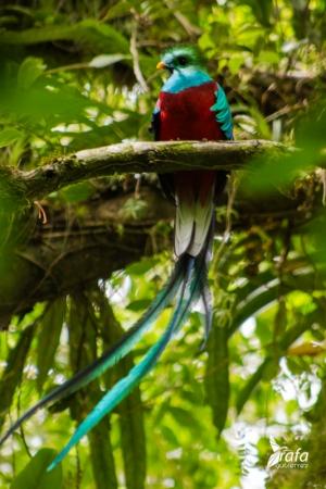 Resplendent Quetzal by Rafa Gutierrez
