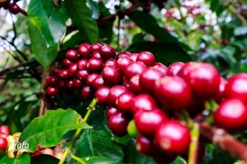 Ripe Coffee Berries by Rafa Gutierrez
