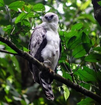Crested Eagle by Rafa Gutierrez