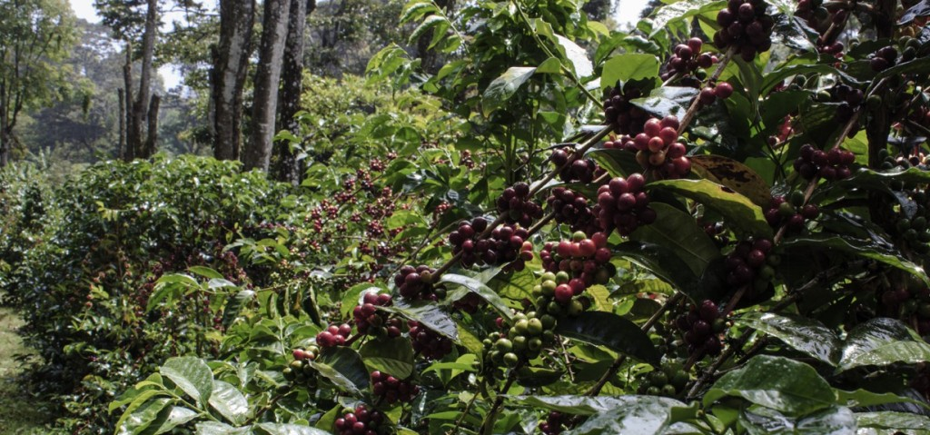 cropped-coffee-berries-far-header-size.jpg