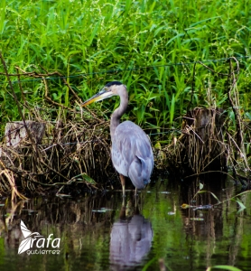 Great Blue Heron by Rafa Gutierrez