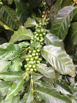 Unripened Coffee Berries