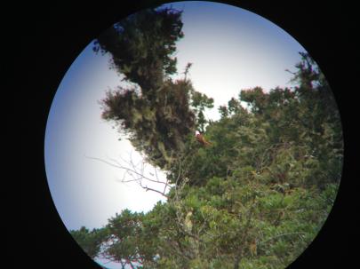 Three-wattled Bellbird by Jason Lara