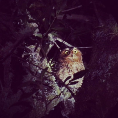 Bare-shanked Screech Owl by Jason Lara
