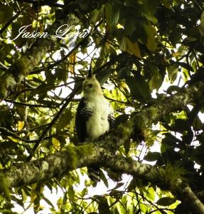 Ornate Hawk Eagle by Rafa Gutierrez