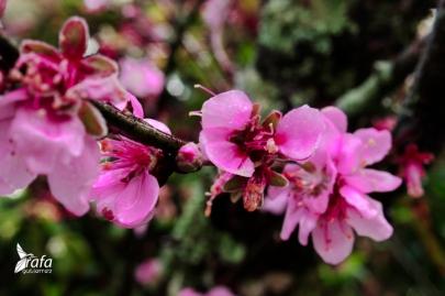 Pink Flowers by Rafa Gutierrez