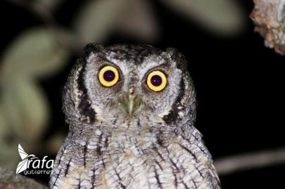 Tropical Screech Owl by Rafa Gutierrez