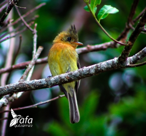 Tufted Flycatcher by Rafa Gutierrez