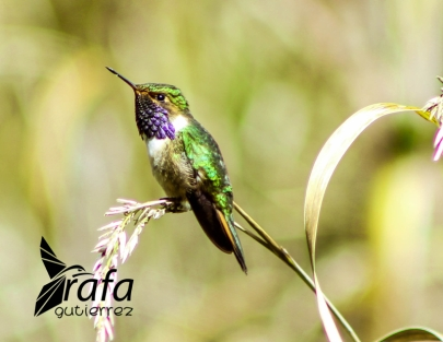 Volcano Hummingbird by Rafa Gutierrez
