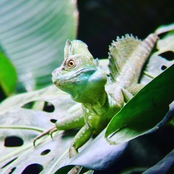 Basiliscus plumifrons- Costa Rica