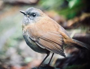 Black-billed Nightengale Thrush