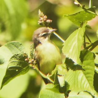 Brown capped vireo