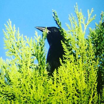 Mellodious Blackbird