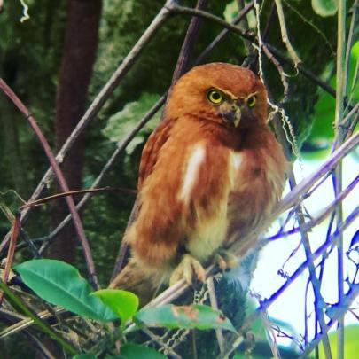 Rufous Morph Costa Rican Pygmie Owl