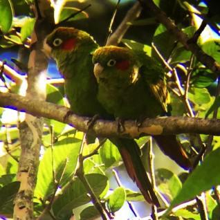 Sulphur-winged Parakeets