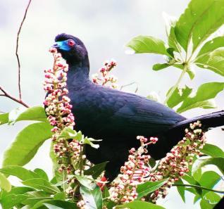 Black-Guan Chamaepetes Unicolor