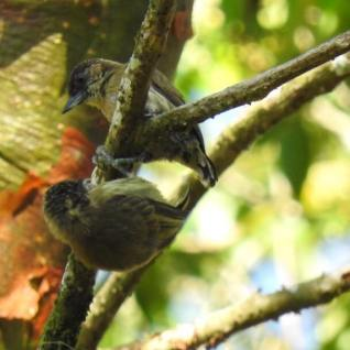 Olivaceous Piculet, female, with immature
