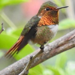 Scintillant Hummingbird, Male